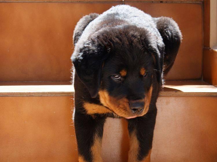 Treppensteigen tut nicht allen Hunden gut – Bild: Shutterstock / Luis-Carlos-Torres