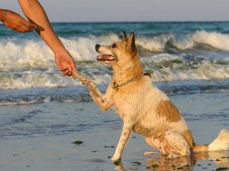 Pfötchen geben gehört zu den leichten Hundetricks – Bild: Shutterstock / Catalin-Grigoriu