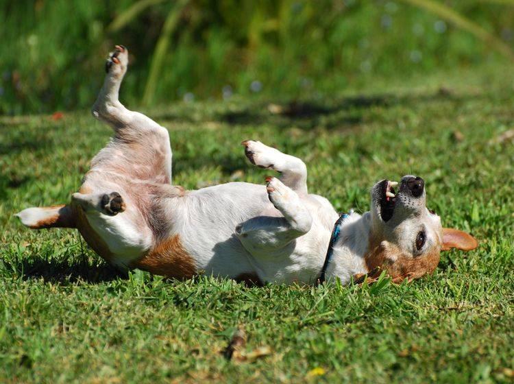 Rolle machen? Kein Problem für viele Hunde – Bild: Shutterstock / Anke-van-Wyk