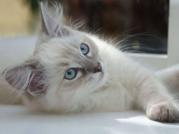 Ragdolls gehören zu den großen Katzenrassen – Bild: Shutterstock / cath5