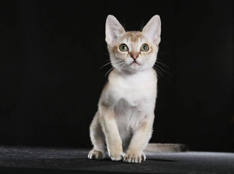 Kleine Katzenrassen: Die Singapura-Katze gehört dazu – Bild: Shutterstock / Krissi Lundgren
