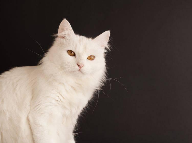 Die Türkisch Angora hat einen gutmütigen Charakter– Bild: Shutterstock / DreamBig