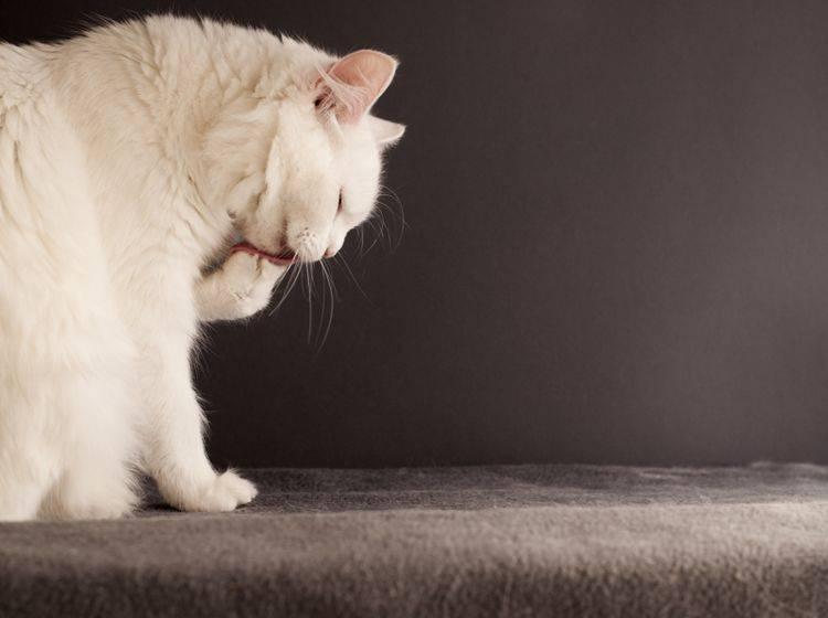 Die Türkisch Angora ist pflegeleicht– Bild: Shutterstock / DreamBig