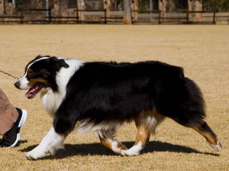 Der Australian Shepherd braucht eine liebevolle, konsequente Erziehung – Bild: Shutterstock / Mark Herreid