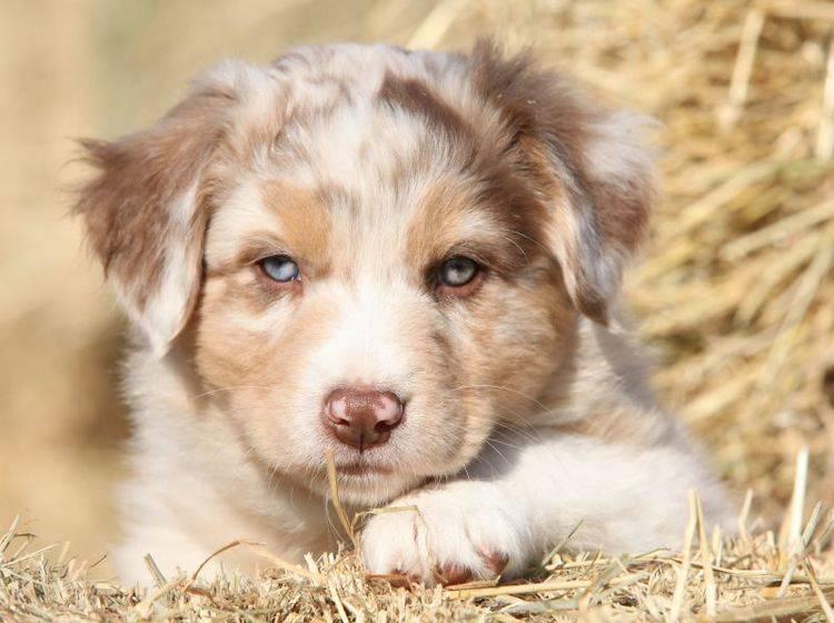 Der Australian Shepherd ist ein schöner Hund mit einem spannenden Wesen – Bild: Shutterstock / Zuzule