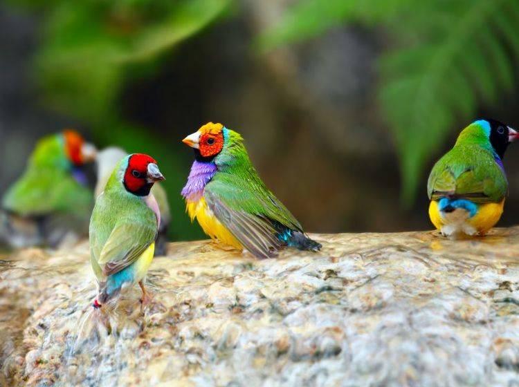 Bunte Versammlung: Diese Finkenart heißt Gouldamadine – Bild: Shutterstock / NAN728