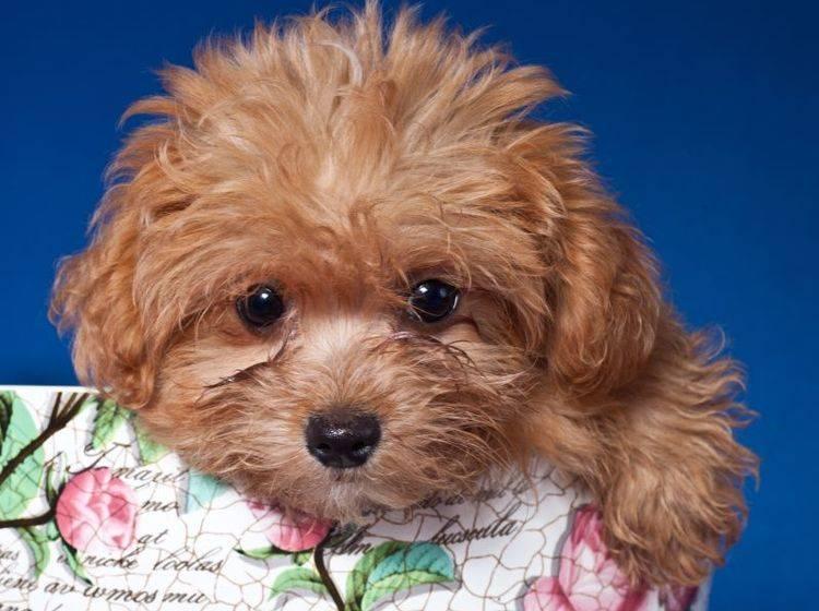 Der Bolonka Zwetna ist ein richtiger kleiner Familienhund – Bild: Shutterstock /Bildagentur Zoonar GmbH