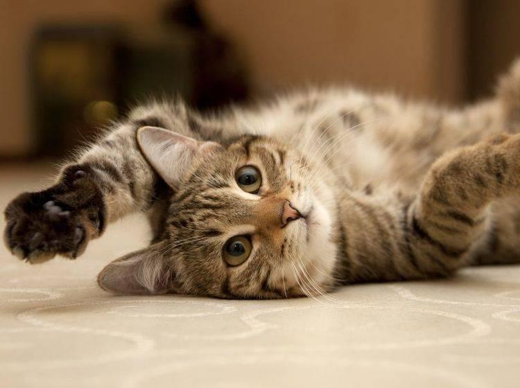 """""""Pfötchen geben"""" auf Kommando ist für Katzen nicht so einfach wie für Hunde – Bild: Shutterstock / marinaks"""