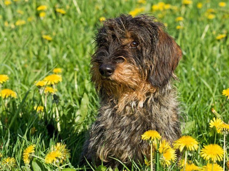 Der Rauhaardackel liebt schöne Spaziergänge – Bild: Shutterstock / Sonja Calovini