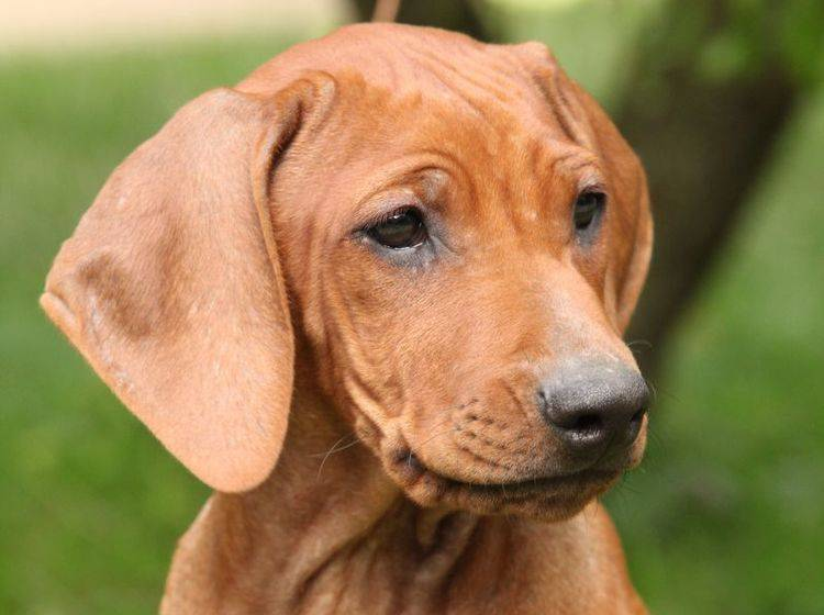 Rhodesian Ridgeback: Ein schöner, pflegeleichter Hund – Bild: Shutterstock / Zuzule