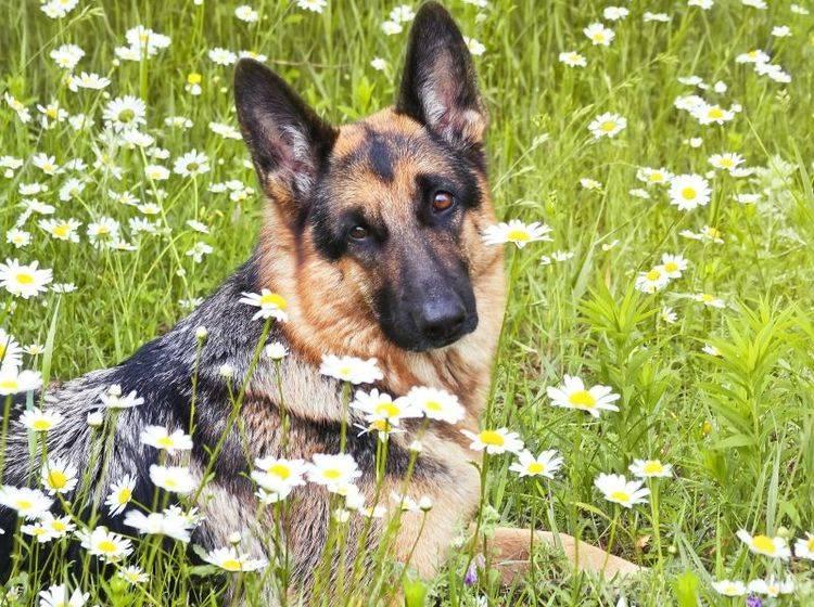 Ein Deutscher Schäferhund ist bei guter Haltung ein treuer, freundlicher Hund – Bild: Shutterstock / Hysteria