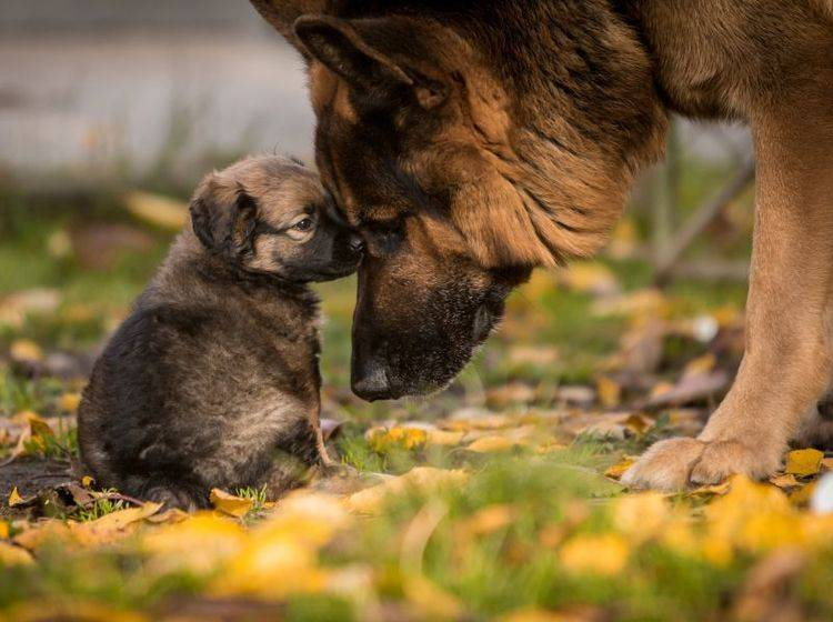 Die Grundlagen der Erziehung übernimmt die Hundemama – Bild: Shutterstock / Hysteria