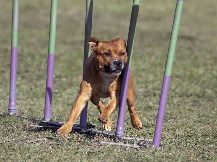 Der Staffordshire Bullterrier ist ein agiler und temperamentvoller Hund – Bild: Shutterstock / Reddogs