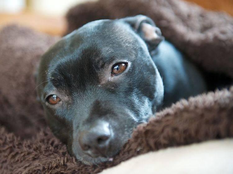 Gewusst wie: Mit guter Erziehung wird der Staffordshire Bullterrier ein braver Familienhund – Bild: Shutterstock / jjohnson2011