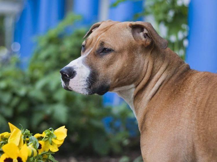 Die Erziehung eines Staffordhsire Terriers ist etwas für erfahrene Hundebesitzer – Bild: Shutterstock / Emil L