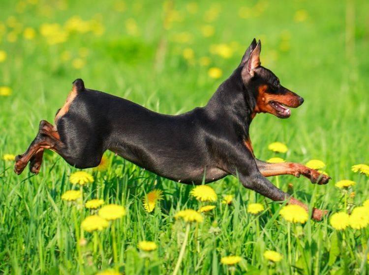 Der sportliche Zwergpinscher rennt gerne und braucht viel Bewegung – Bild: Shutterstock / DragoNika