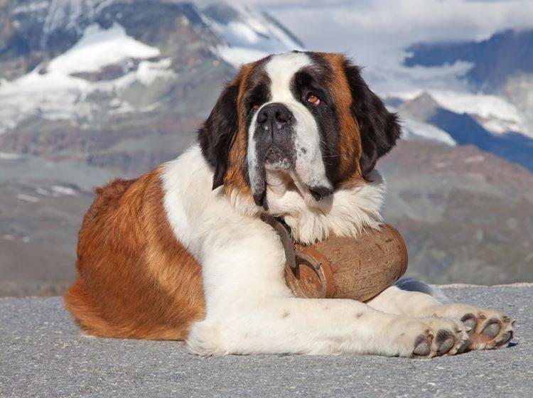 Der Bernhardiner ist ein typischer Rettungs- und Wachhund – Bild: Shutterstock / Fedor Selivanov