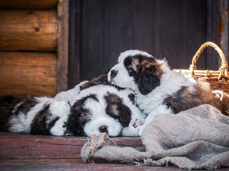 Das Bernhardiner-Leben ist ganz schön anstrengend... – Bild: Shutterstock / dezi