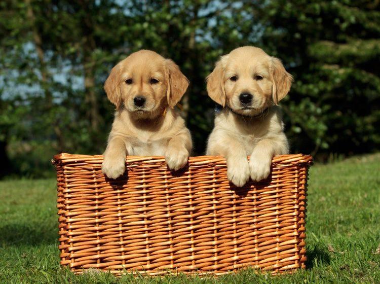 Golden Retriever gehören zu den beliebten Hunderassen für Anfänger – Bild: Shutterstock / vgm