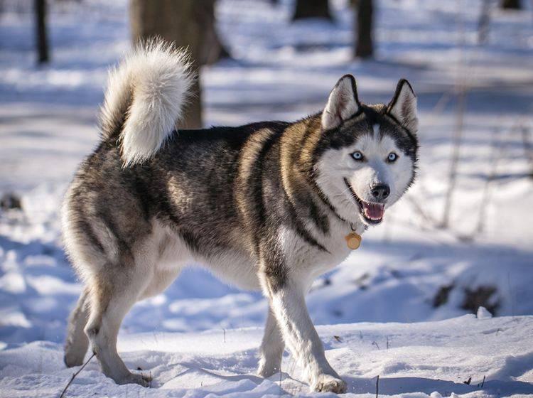 Die Haltung eines Huskys ist nicht ganz unkompliziert – Bild: Shutterstock / SVPhilon