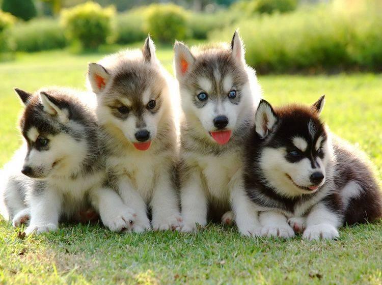 Husky-Welpen kaufen: Wichtige Tipps für die Hundewahl – Bild: Shutterstock / FreeBirdPhotos