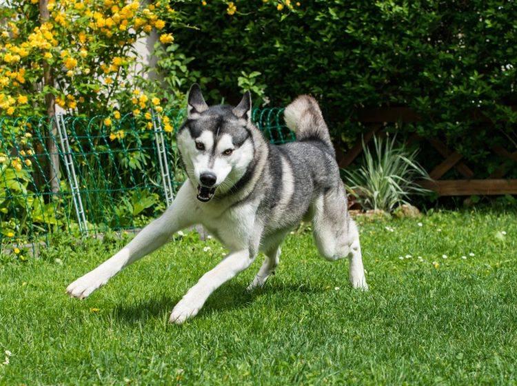 Bei der Erziehung des Huskys ist eine liebevolle, aber strenge Hand wichtig – Bild: Shutterstock / FreeBirdPhotos1
