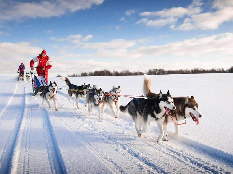 Der Husky hat ein freundliches, intelligentes Wesen – Bild: Shutterstock / gillmar