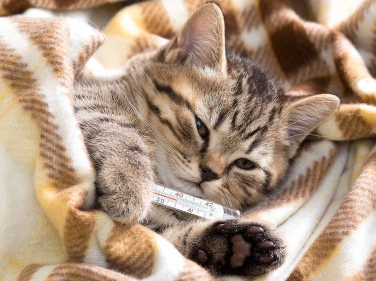 Oft muss Niesen bei Katzen mit Medikamenten behandelt werden – Bild: Shutterstock / Andrey Kuzmin