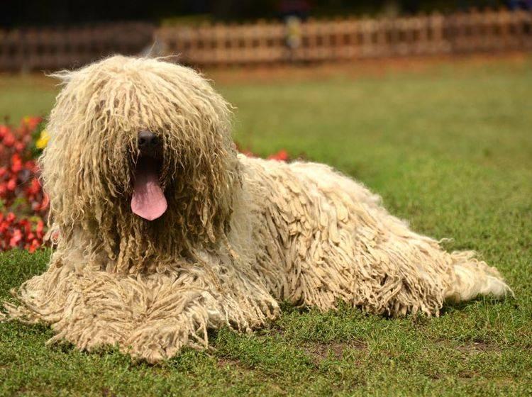 Die Erziehung des Komondors ist vor allem etwas für erfahrene Hundehalter – Bild: Shutterstock / Marcel Jancovic