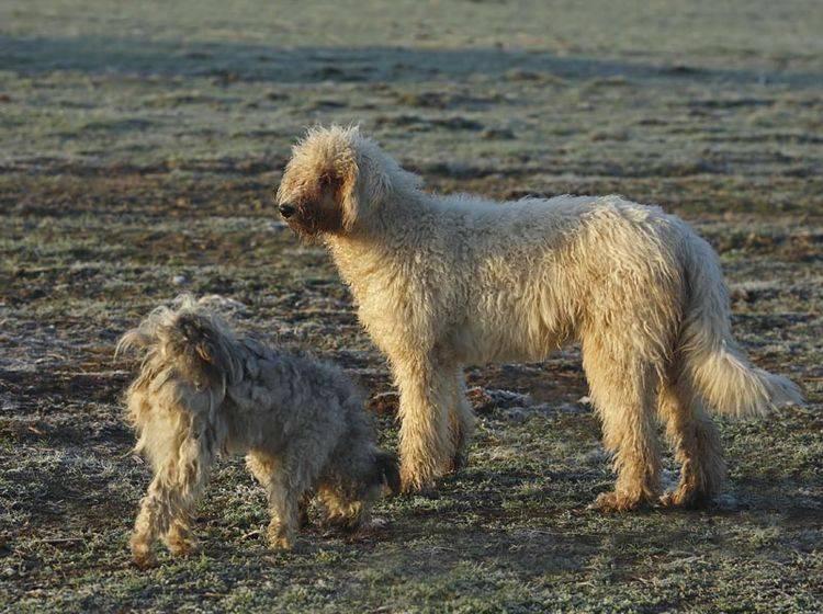 Der ungarische Hirtenhund Komondor hat einen ganz besonderen Charakter – Bild: Shutterstock / Vetapi