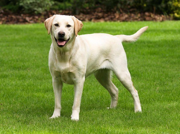 So ist der Charakter des schönen Labradors – Bild: Shutterstock / Capture Lights