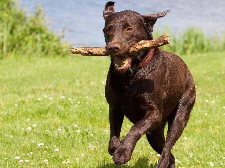 Der Labrador ist ein lieber Familienhund, der sich über viel Bewegung freut – Bild: Shutterstock / Roland Ijedema