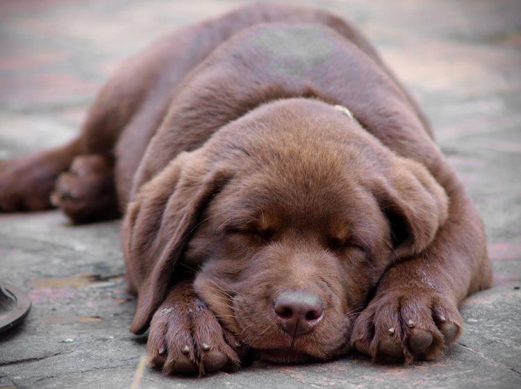 Wenn Sie konsequent bleiben, ist die Erziehung des Labradors relativ unkompliziert – Bild: Shutterstock / Zeljko Radojko