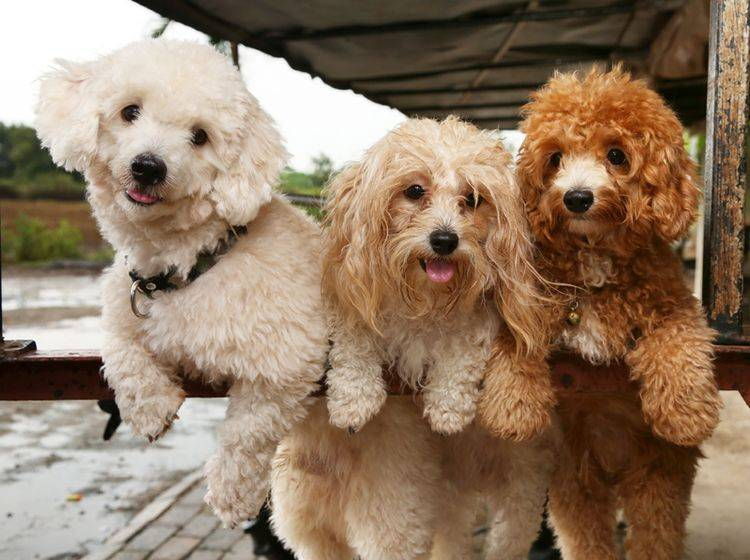 Pudel gehören zu den einfach zu handhabenden Hunderassen – Bild: Shutterstock / PCHT