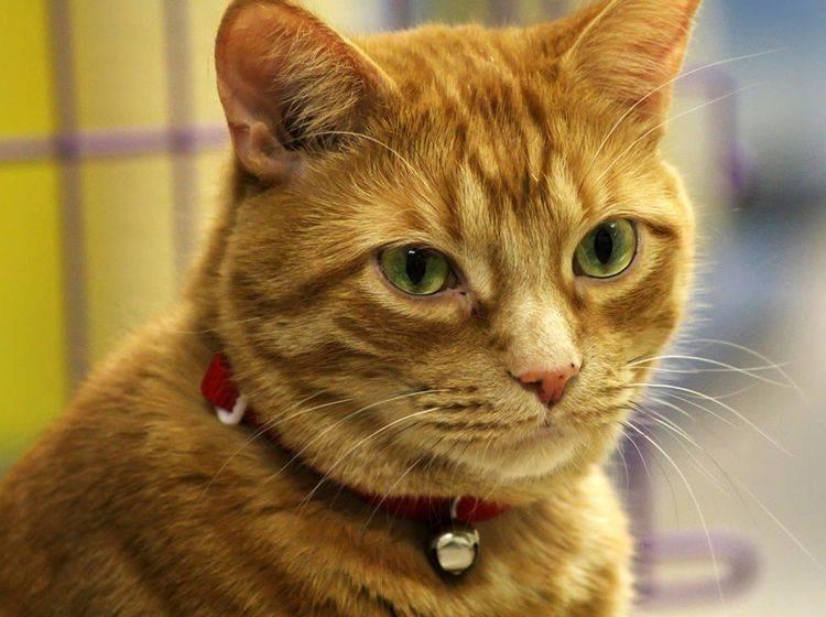 Im Tierheim warten viele tolle Hauskatzen auf ein schönes neues Zuhause – Bild: Shutterstock / Rebecca Anne