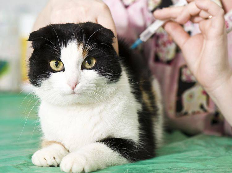 Impfungen gegen Leukose und Katzenseuche sind eine wichtige Vorsorge – Bild: Shutterstock / Kachalkina Veronika
