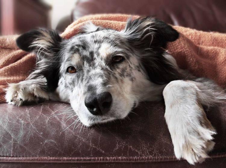 Die Symptome von Zwingerhusten verschlimmern sich oft in der Nacht – Bild: Shutterstock / LRHelms