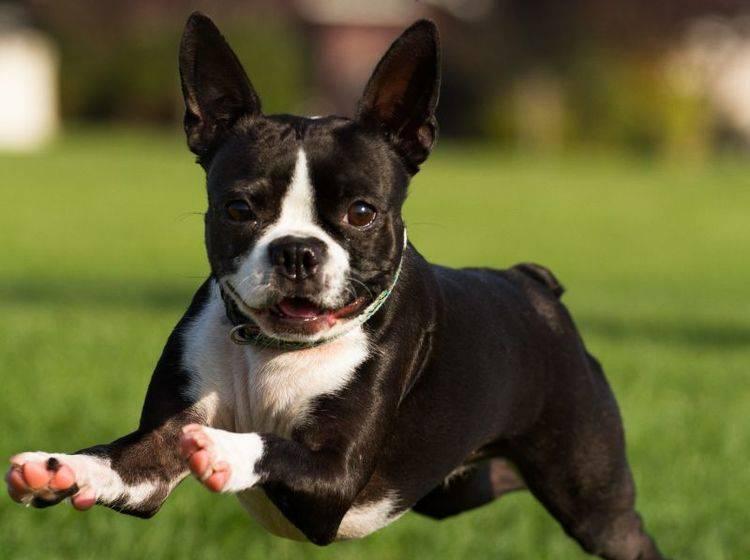 """""""Achtung, jetzt komm ich!!!"""" Der Boston Terrier ist ein munterer, temperamentvoller Hund – Bild: Shutterstock / Lobstrosity"""