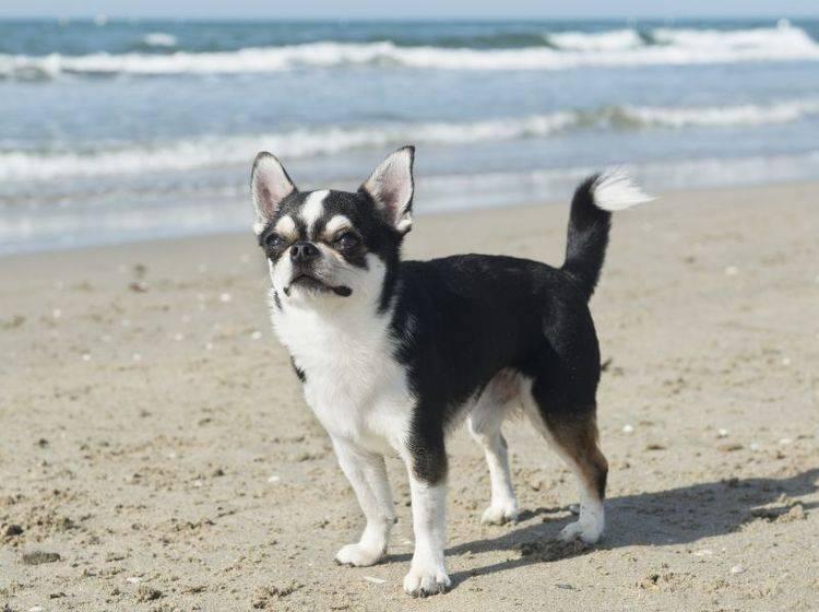 Der Chihuahua ist ein aufgewecktes kleines Kerlchen – Bild: Shutterstock / cynoclub
