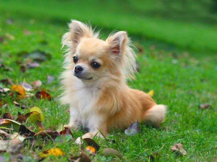 Trotz kleiner Größe sollte der Chihuahua eine gute Erziehung genießen – Bild: Shutterstock / padu_foto