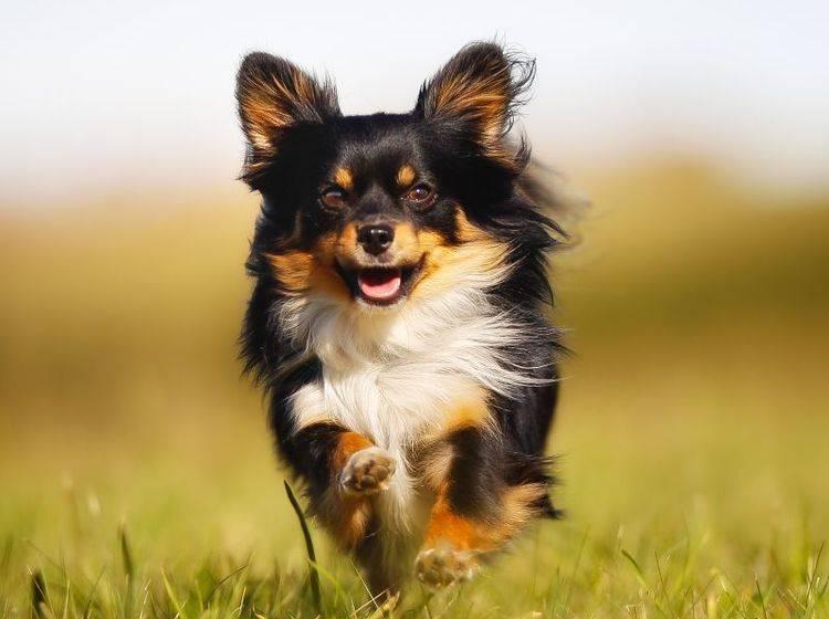Draußen ist der Chihuahua ein richtiger kleiner Wirbelwind – Bild: Shutterstock / Mikkel Bigandt