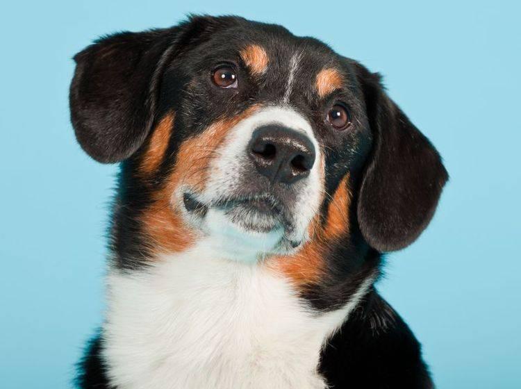 Klug und menschenbezogen: Der Entlebucher Sennenhund – Bild: Shutterstock / Ysbrand Cosijn