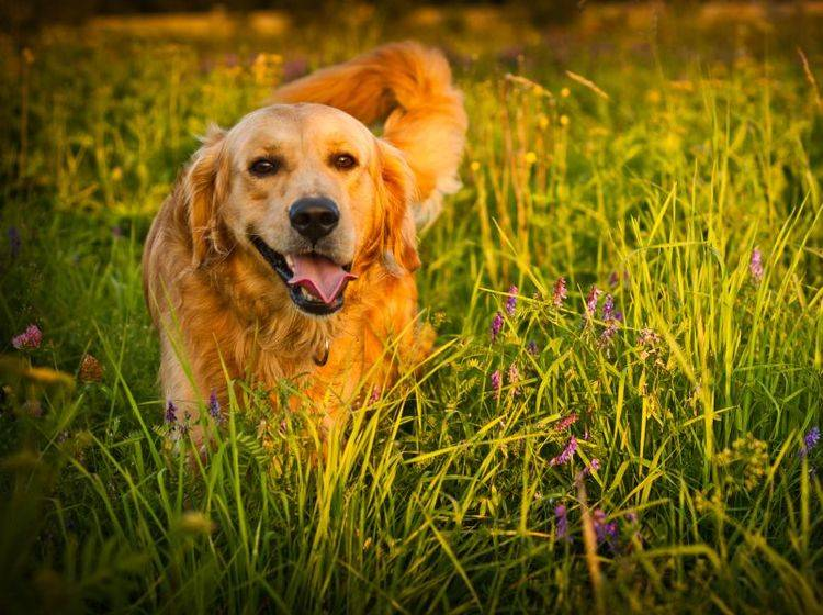 Der Golden Retriever liebt lange Spaziergänge – Bild: Shutterstock / jurra8