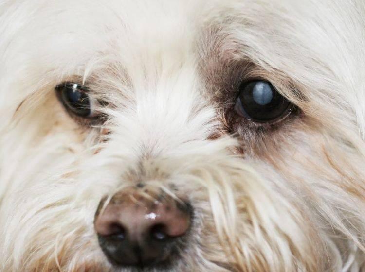 Grauer Star beim Hund: Die Augenlinse ist sichtbar getrübt – Bild: Shutterstock / Joy Brown