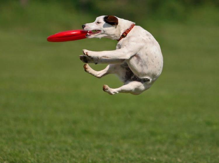 jack-russel-terrier-hund-shutterstock-Andraž Cerar