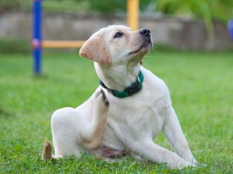 Haarlinge lösen beim Hund starken Juckreiz aus – Bild: Shutterstock / Vadim Bukharin