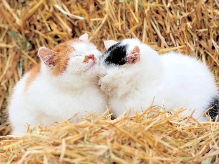 Flauschige Katzen: Im Stroh liegen, das ist schön! – Bild: Shutterstock / Volodymyr-Burdiak