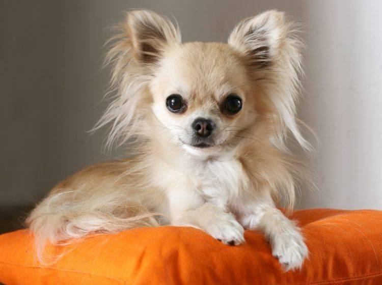 Der Chihuahua ist ein pflegeleichter kleiner Hund – Bild: Shutterstock / padu_foto