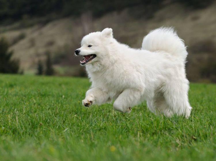Der Samojede liebt lange Spaziergänge – Bild: Shutterstock / AnetaPics