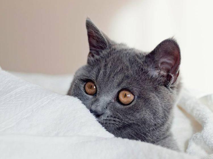 Die Britisch Kurzhaar: Eine gelassene, sanftmütige Katze – Bild: Shutterstock / max777